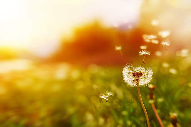 front view of dandelion with seeds in the wind in spring nature.